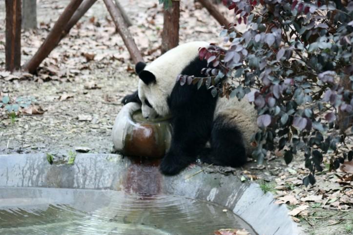 Panda-gigante em Chengdu