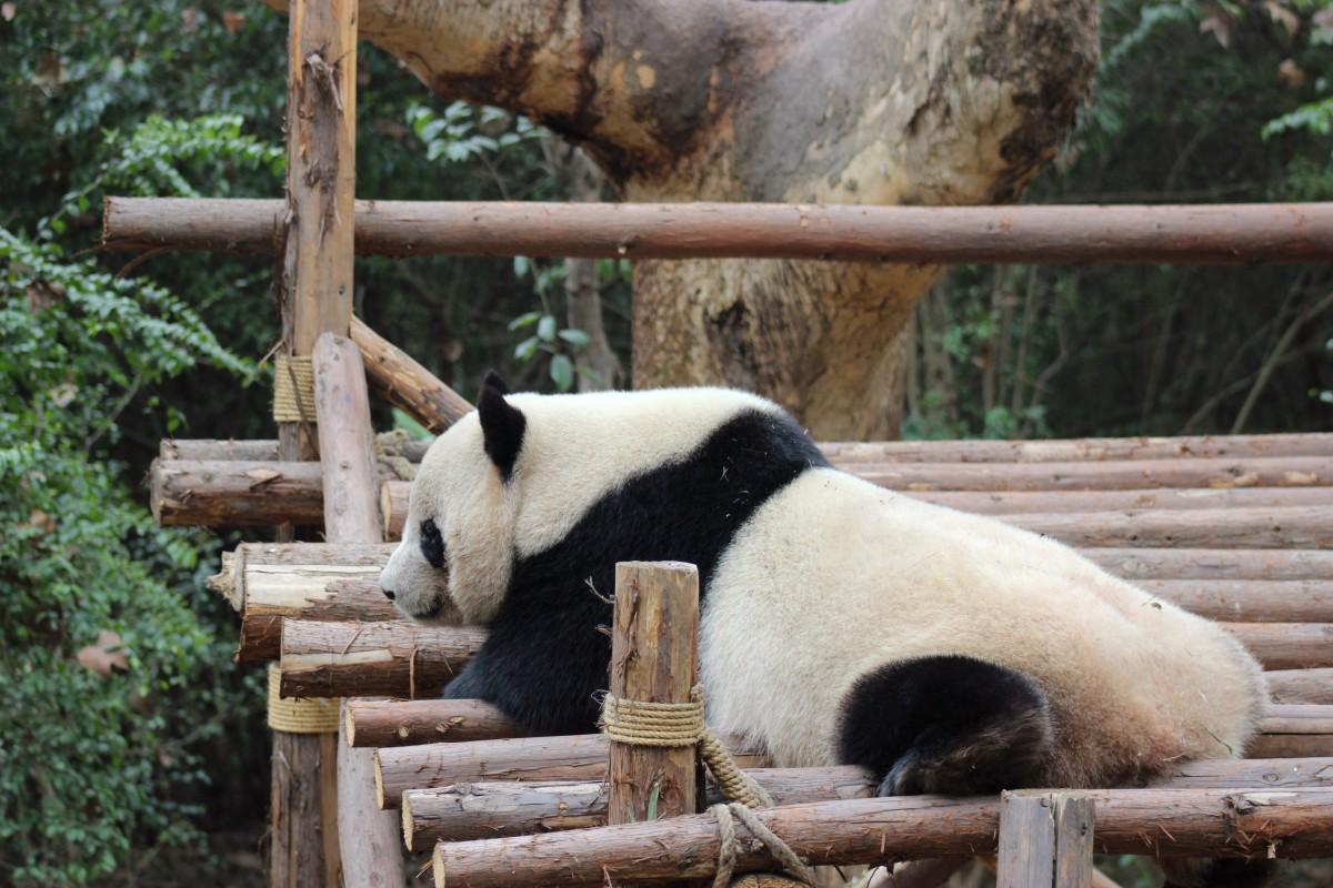 Os pandas-gigantes de Chengdu