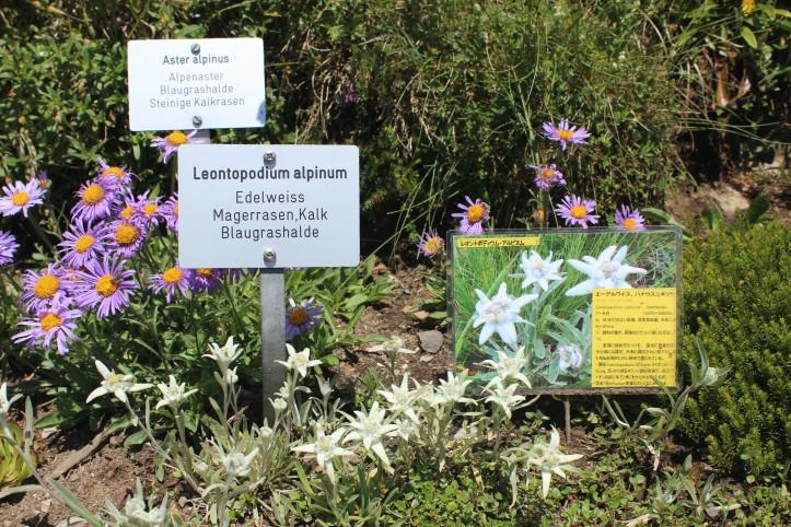 A flor branca dos Alpes
